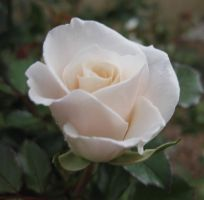 Rose 030315 03 by acurmudgeon