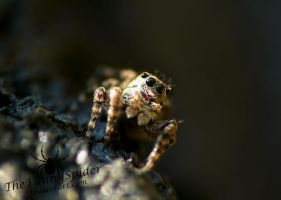 Cute Sitticus Pubescens - Male by TheFunnySpider