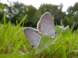 Eastern Tailed Blues by Anachronist84