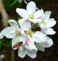 Bee and Apple Blossoms by MogieG123