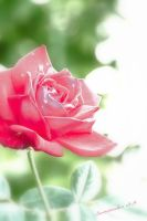 Rose at the End of September by Seawindwindkiss