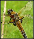 Dragonfly baby by Shira9