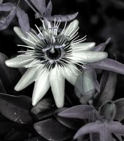 Passion Flower Black And White by Forestina-Fotos