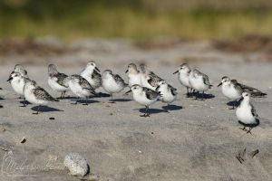Sanderlings by mydigitalmind