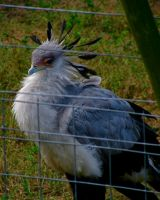 Secretary Bird by DaytonaBlue64Impala