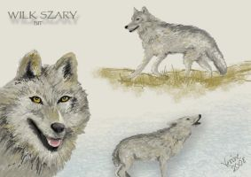 Grey wolf-concept art by Verine