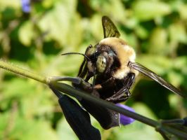 ..Carpenter,.Bee,.eating by duggiehoo