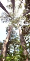 These towering pines by Locopelli