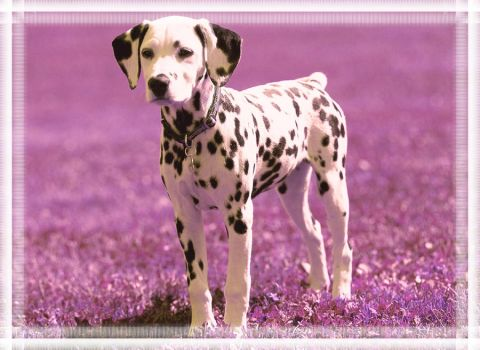 Dalmatian Puppy by Easyshare5