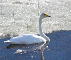 Whooper Swan 05 by nordfold