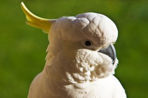Sulphur Crested Cockatoo 177 by chezem