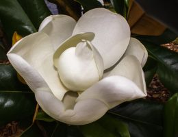 Magnolia in Bloom by captainslack
