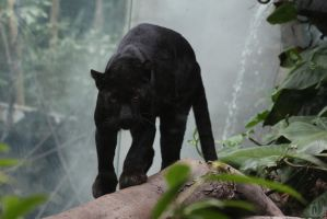 Black Leopard Stock 1 by HOTNStock