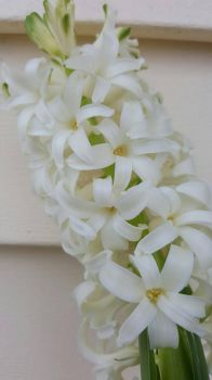 White Hyacinth  by Jabena