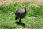 A posing guineafowl by Tori-Kell