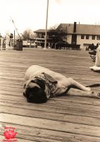 Boardwalk Mastiff by MeKamalaPhotography