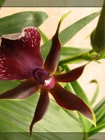Brown Orchid by maska13