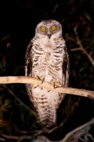 Powerful owl by JeremyRingma