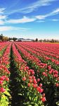 Tulip Fields #2 by KRHPhotography