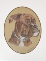 Boxer drawing - pastel pencil by Myssham