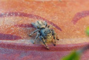 Jumping Spider by ayesi