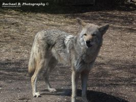 .:Common Coyote:. by jellybean12365
