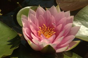 waterlily by marob0501