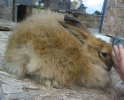 French Angora by Tricksters-Taxidermy