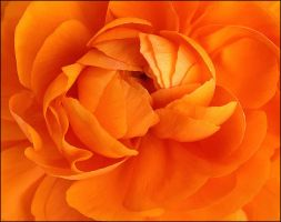 ORANGE BEGONIA by THOM-B-FOTO