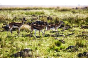 Thompsons Gazelles by batmantoo