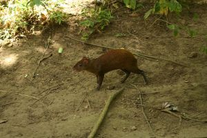 Agouti stock by hyannah77-stock