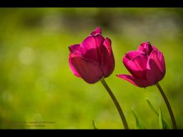 Spring purple Tulips by GMCPhotographics