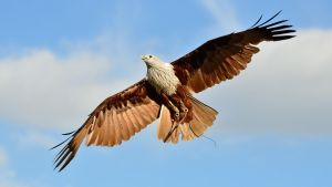 Brahminy Kite III by Yslen