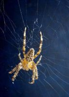 Spider by ankewehner by Insect-Lovers-Club