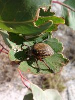Red-legged Weevil, at lunch by Drhoz