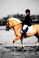 Fjordhorse stallion by KSS-picturing