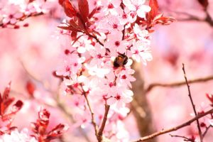 Cherry tree by silverhest