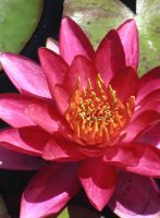 Red and Pink Water Lily by ShinsetsuNeko