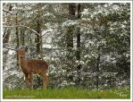 Deer in Snow by TRBPhotographyLLC