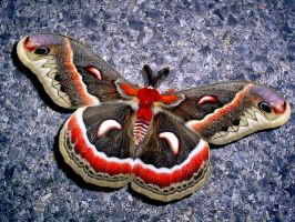 Cecropia moth by MeowMommy
