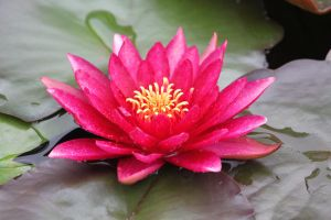 Pink Water Lily by CASPER1830