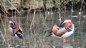 Palette of nature: Chinese ducks by MauraGreen