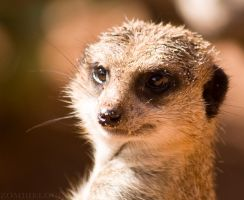 One Beautiful MeerKat by zombielocky
