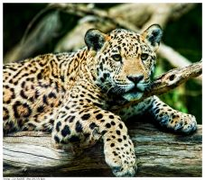 Little Jaguar 3 by Reto