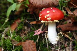 Fly Agaric - III by SmoothEyes