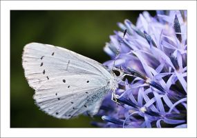 Butterfly and thistle by Bigvicente