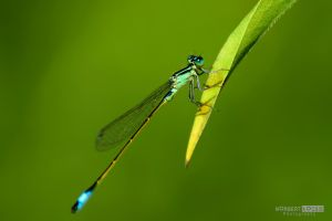 Green Dragonfly by NorbertKocsis