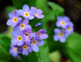 Lilac Forget Me Nots by Forestina-Fotos