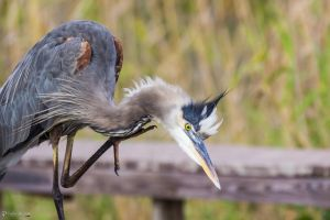 Scratching great blue heron by LordMajestros