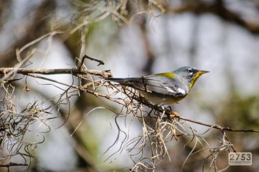Northern Parula by 2753Productions